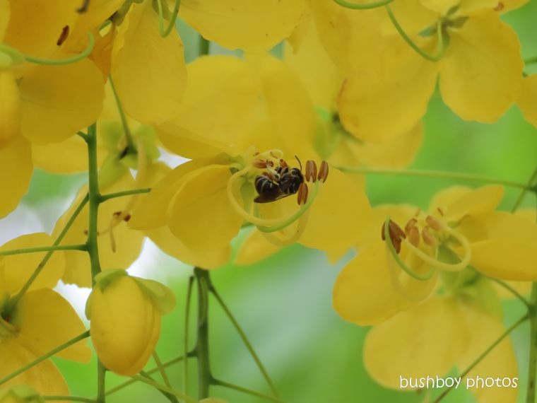 bee_cassia_flower_named_home_jackadgery_feb 2020