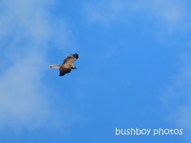 black kite_flying_named_caniaba_feb 2020