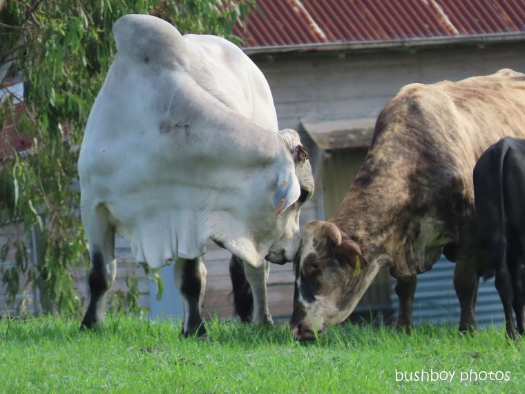 bull_ cow_love_farm_named_caniaba_feb 2020