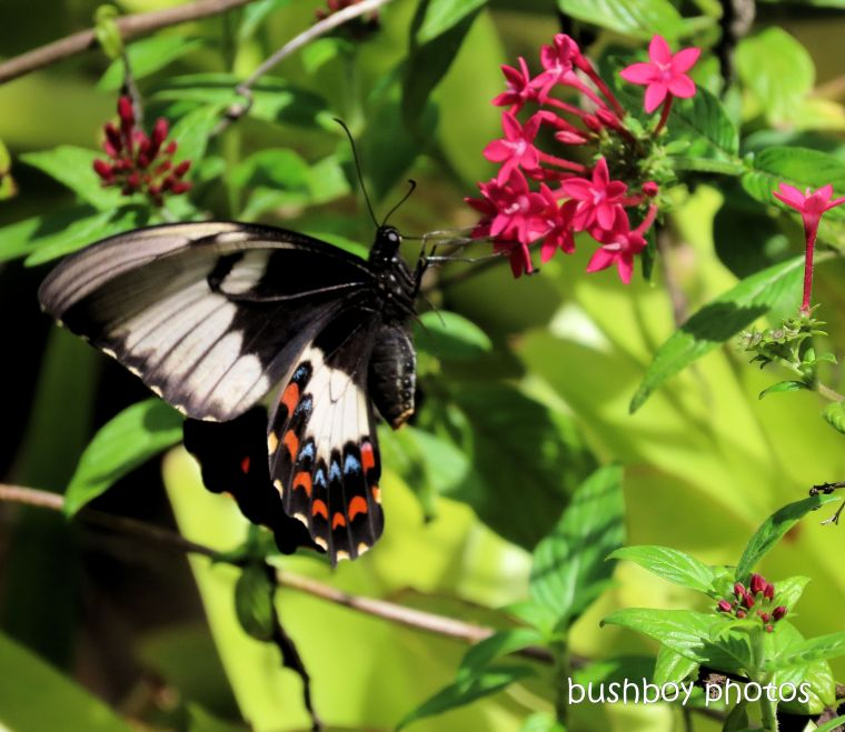 butterfly_orchard swallowtail_pentas_flower_garden_named_home_jackadgery_feb 2020