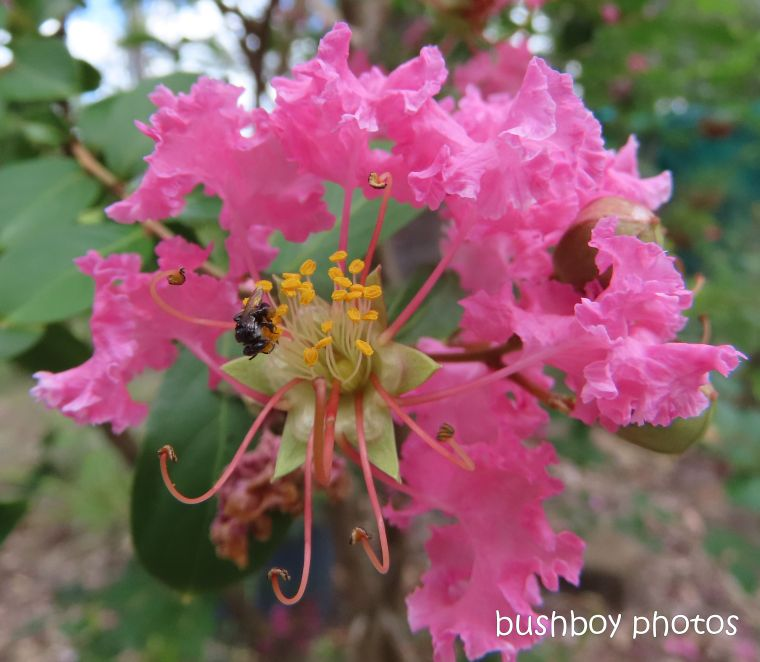 crepe myrtle_flowers_stingless native bee_named_home_jackadgery_feb 2020