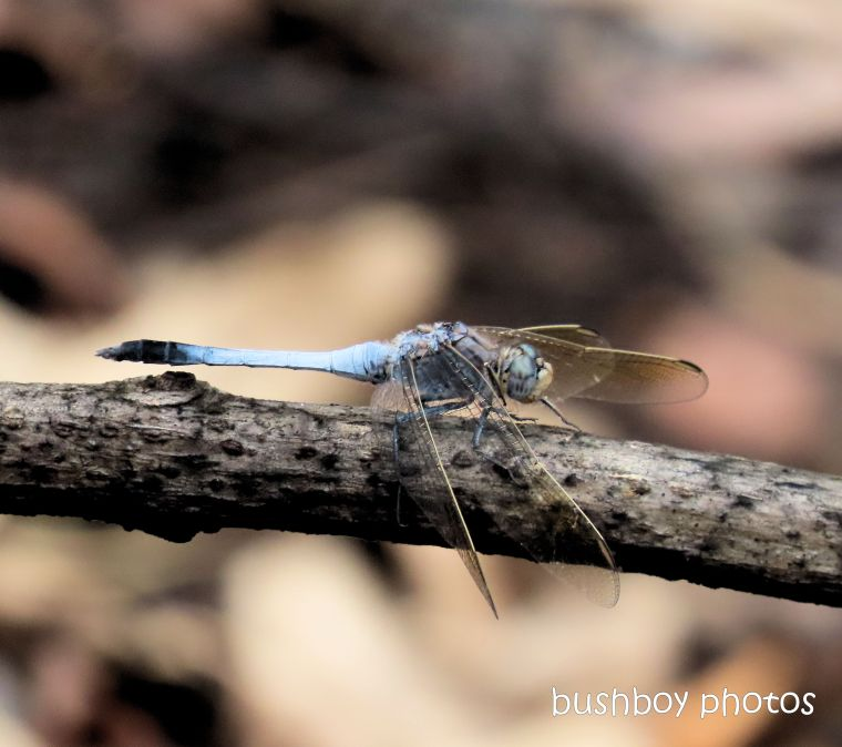 dragonfly_blue_dam_named_home_jackadgery_feb 2020