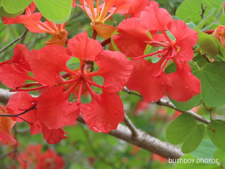 flower_bauhinia_garden_named_home_jackadgery_feb 2020