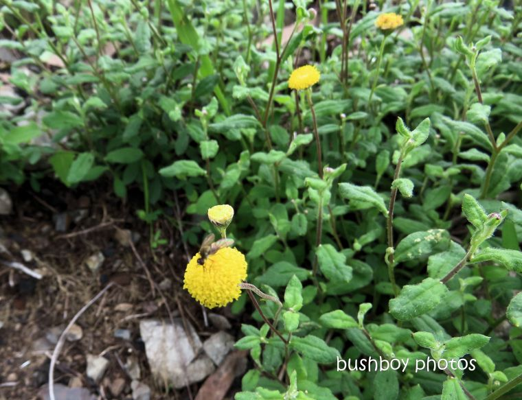 flower_billy buttons_yellow_named_raspberry lookout_march 2020
