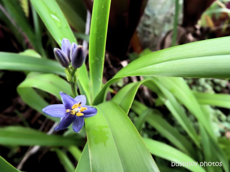 flower_dianella_garden_named_caniaba_feb 2020