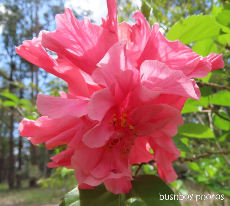 hibiscus_pink_garden_named_home_jackadgery_feb 2020