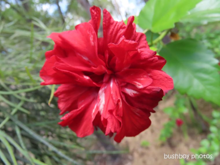 hibiscus_red_minature_garden_named_home_jackadgery_feb 2020