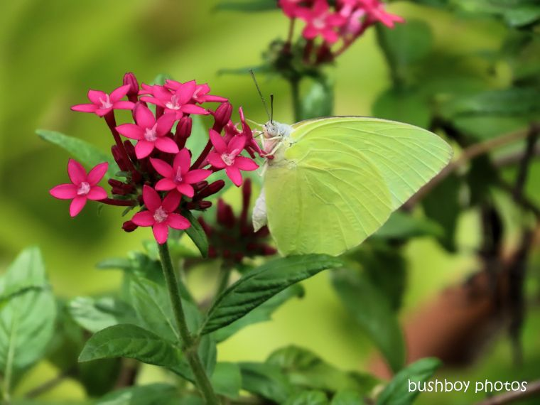 lemon migrant_butterfly_pentas_flower_garden_named_home_jackadgery_feb 2020