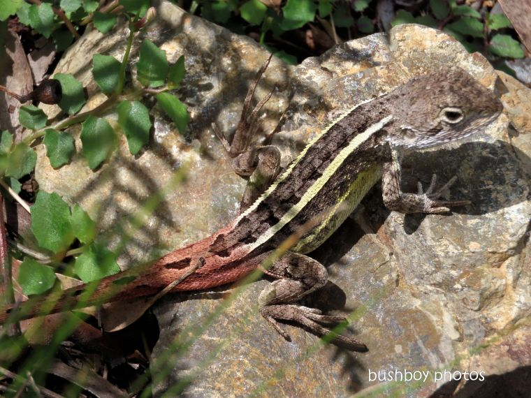 nobbi_lizard_named_raspberry lookout_march 2020