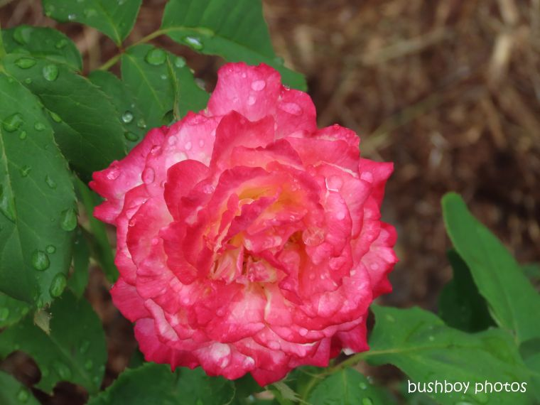 rose_red_flower_water drops_garden_named_caniaba_feb 2020