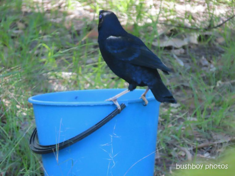 satin bowerbird_bucket_garden_named_home_jackadgery_feb 2020