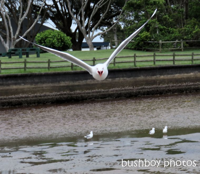 silver gull_flying_beach_named_evans head_feb 2020