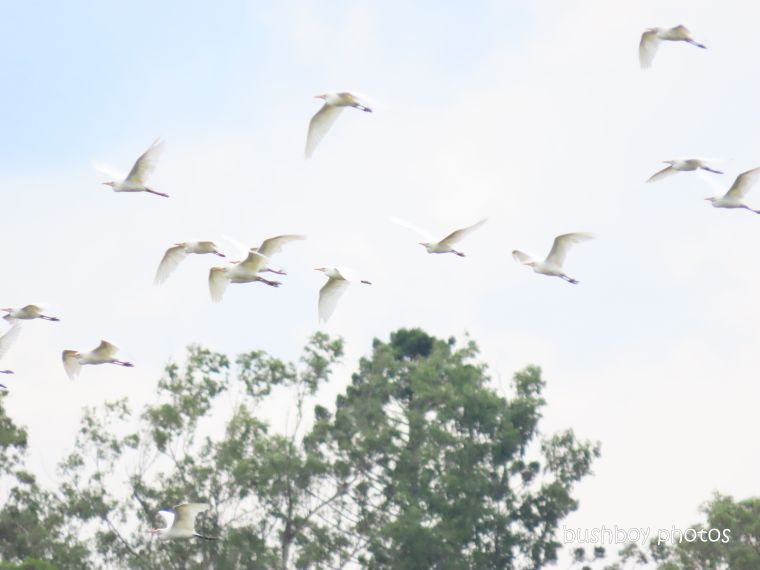 20200408_blog challenge_wordless wednesday_cattle egrets_flying