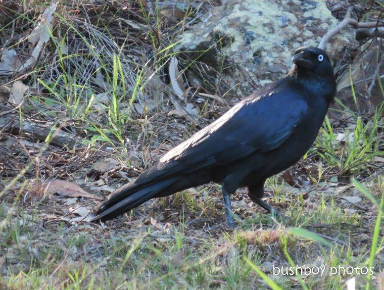 20200428_blog challenge_corvid 2020_australian raven_home (1)