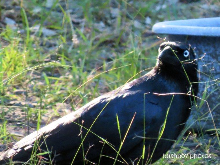 20200428_blog challenge_corvid 2020_australian raven_home (2)