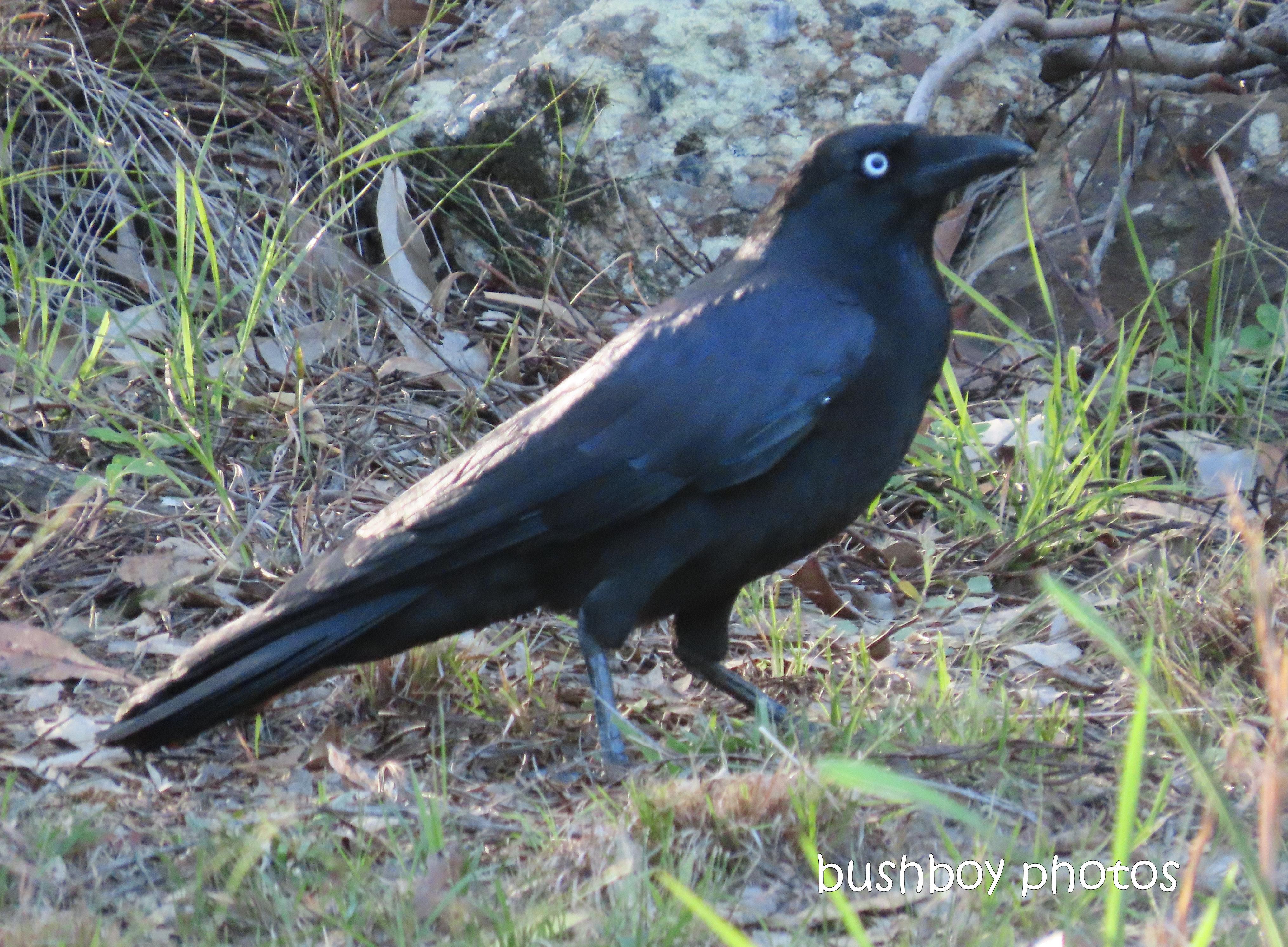 20200428_blog challenge_corvid 2020_australian raven_home (3)