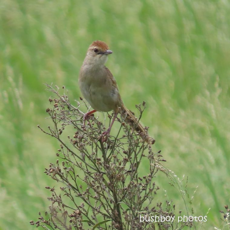 2020404_blog challenge_top_golden cisticola