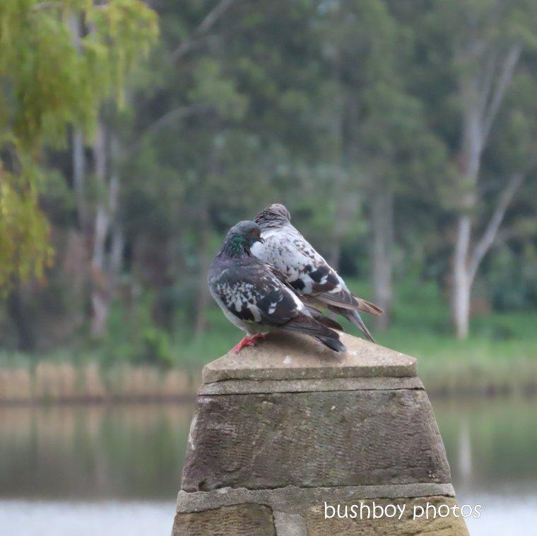2020406_blog challenge_top_pigeons_grafton