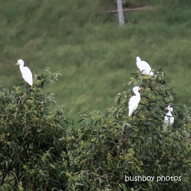 2020408_blog challenge_top_cattle egrets_tree
