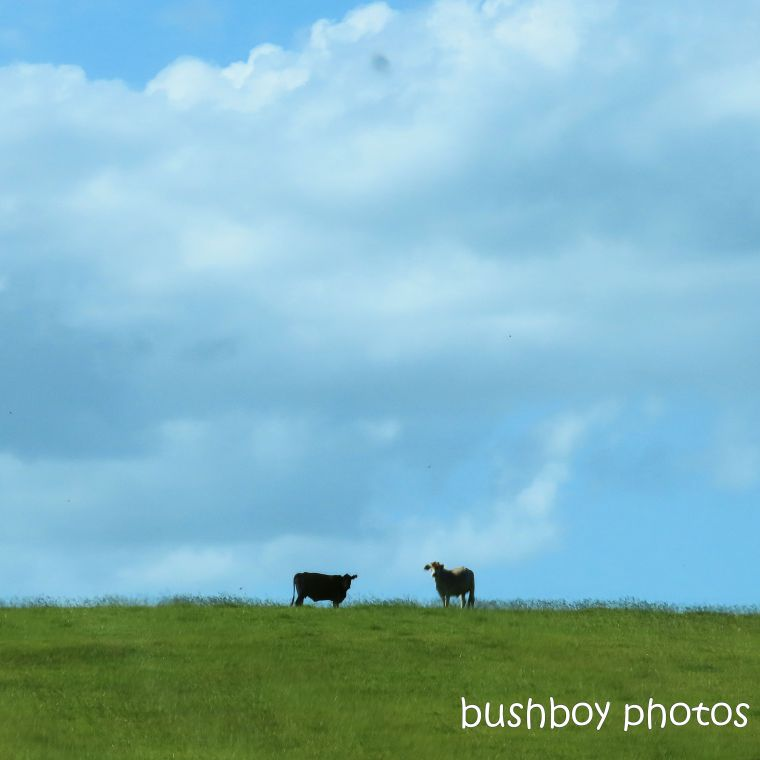 2020415_blog challenge_top_cows_hilltop