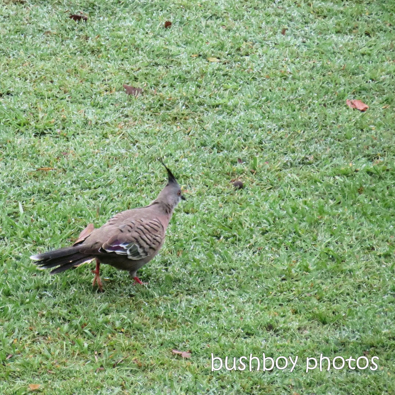2020418_blog challenge_top_top knot pigeon
