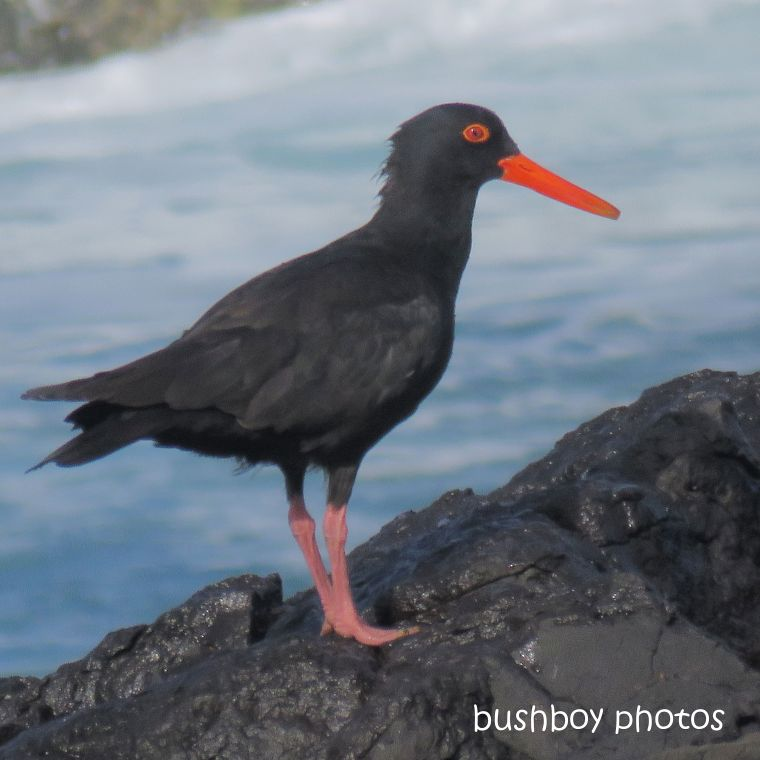 2020422_blog challenge_top_sooty oystercatcher