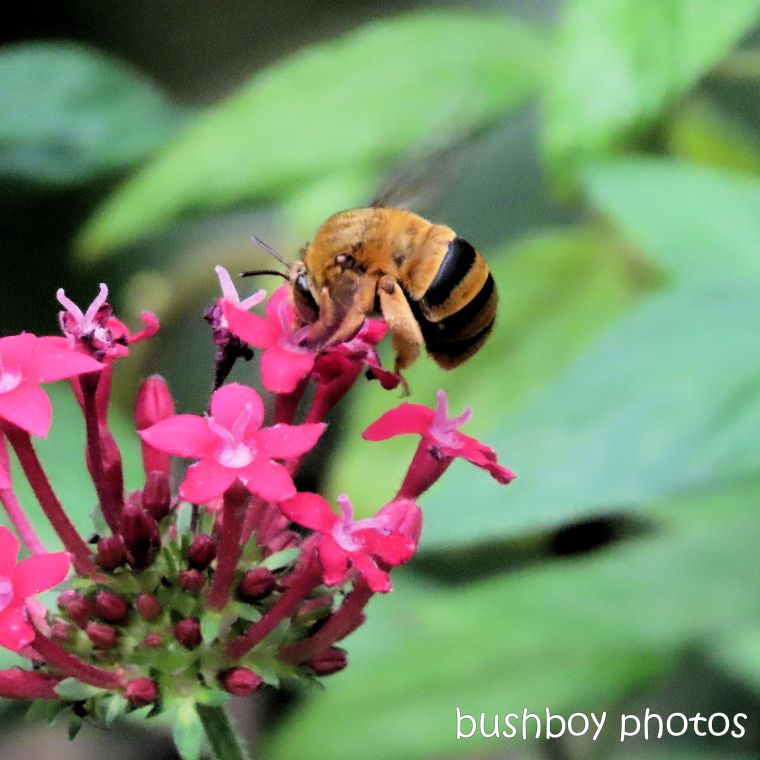2020424_blog challenge_top_teddy bear bee_flower_pentas_jackadgery