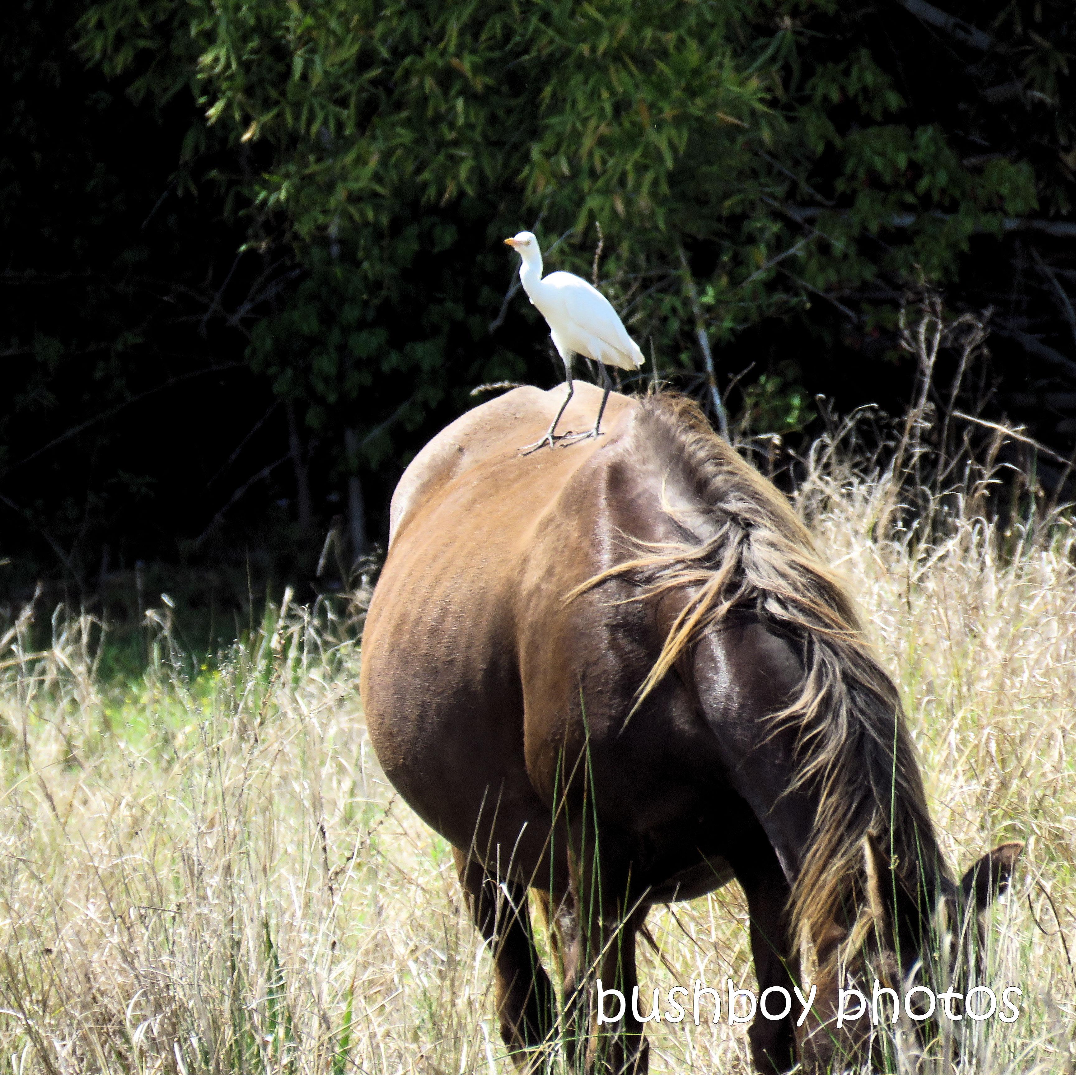 2020429_blog challenge_top_cattle egret_horse