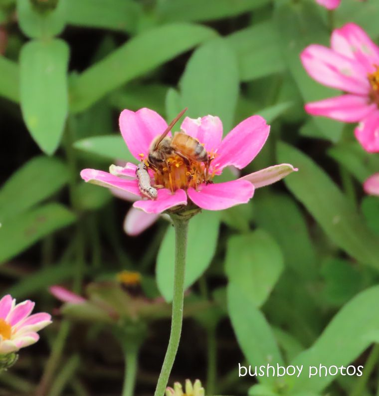 bee_caterpillar_zinnia_flower_garden_named_caniaba_march 2020
