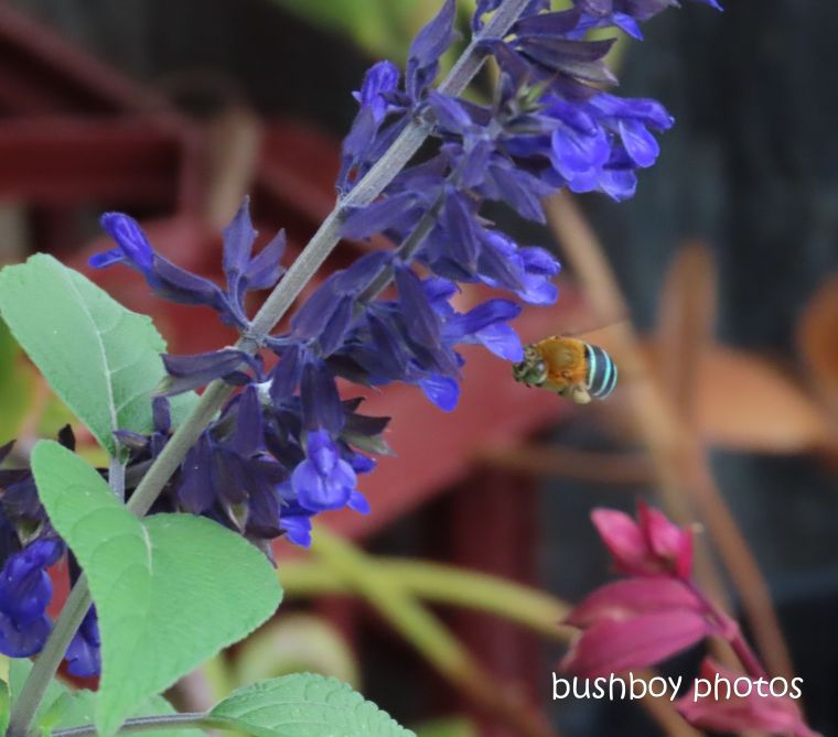 blue banded bee_flying_salvia_flower_garden_named_caniaba_march 2020