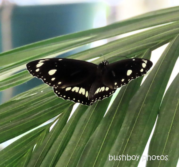 butterfly_common crow_garden_named_home_jackadgery_march 2020