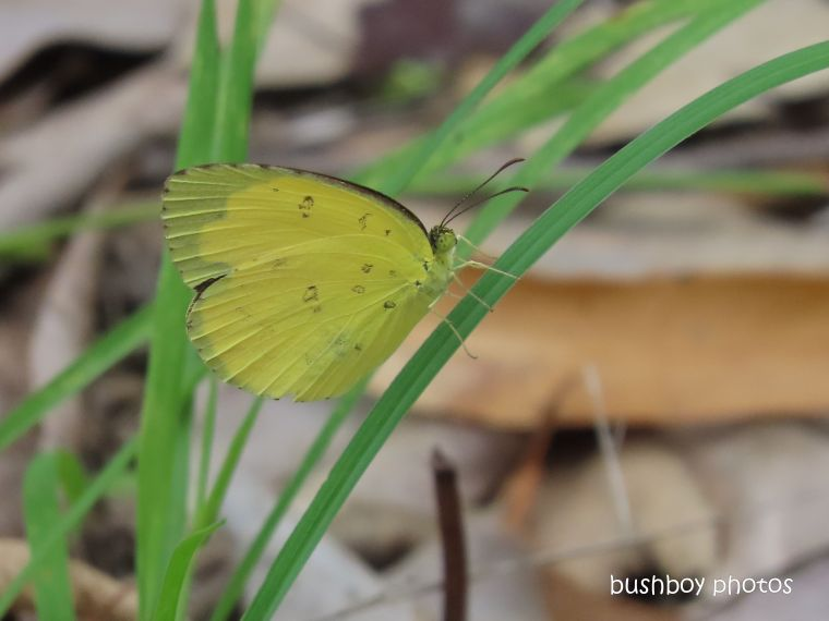butterfly_large grass yellow_named_home_jackadgery_march 2020