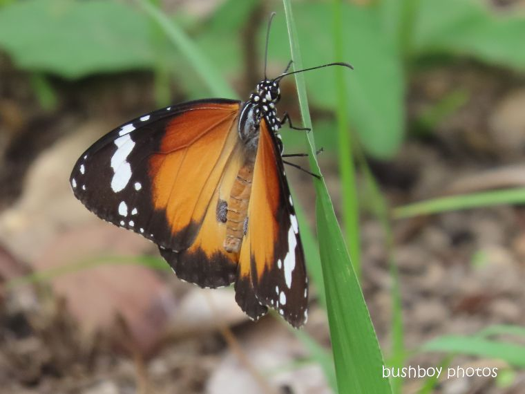 butterfly_lesser wanderer_garden_named_home_jackadgery_march 2020