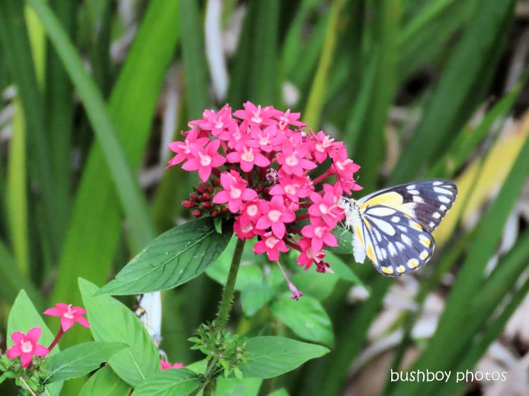 caper white_butterfly_dark form female_pentas__named_durranbah_home_jackadgery_march 2020