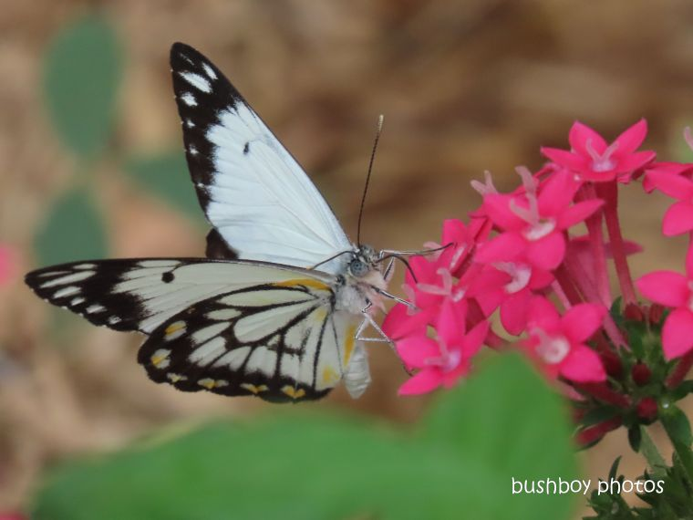 caper white_butterfly_male_pentas_named_durranbah_home_jackadgery_march 2020