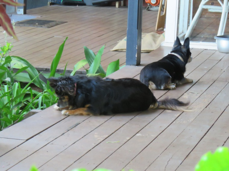 dogs_mini_fifi_verandah_binna burra_jan 2018 (2)