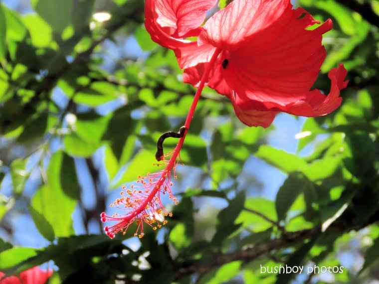 flower_hibiscus_red_caterpillar_garden_named_durranbah_home_jackadgery_march 2020