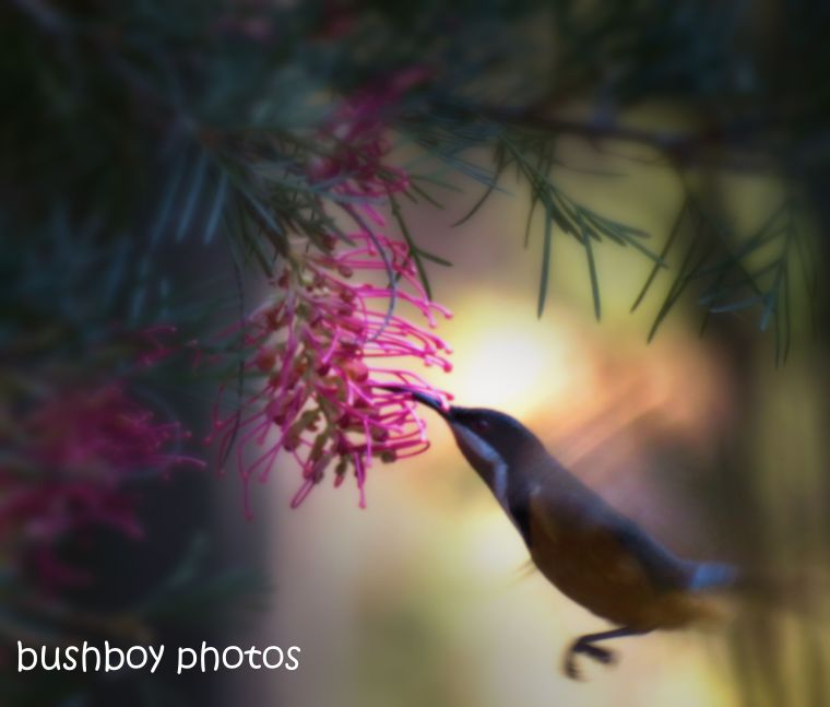 grevilleas_various_eastern spinebill_garden_home_jackadgery_arty