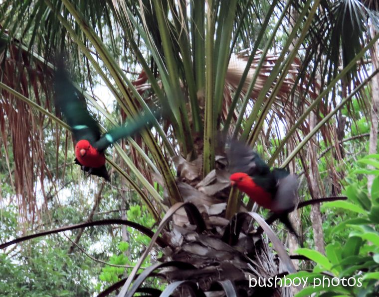 king parrots_flying_garden_named_durranbah_home_jackadgery_march 2020
