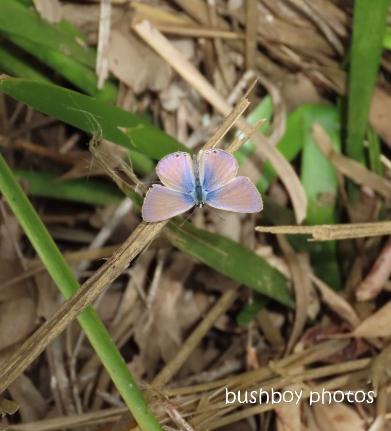 line blue_butterfly_wings open_named_caniaba_march 2020