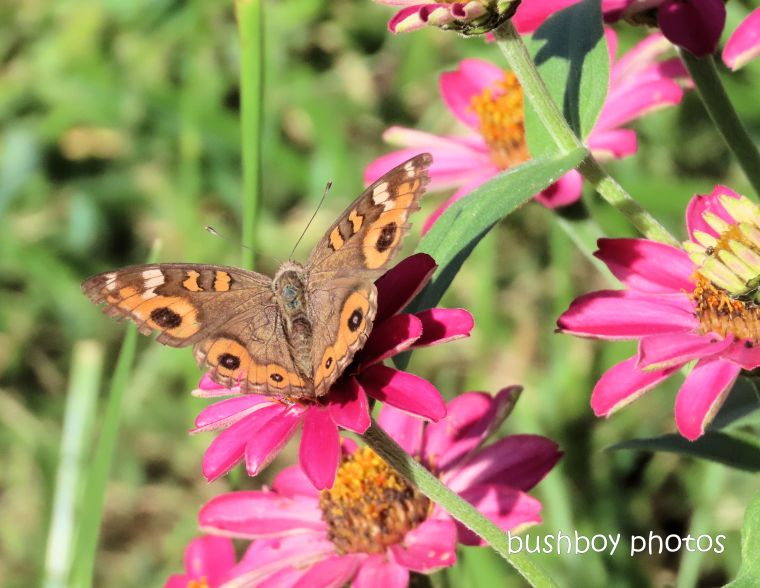 meadow argus_garden_named_caniaba_march 2020