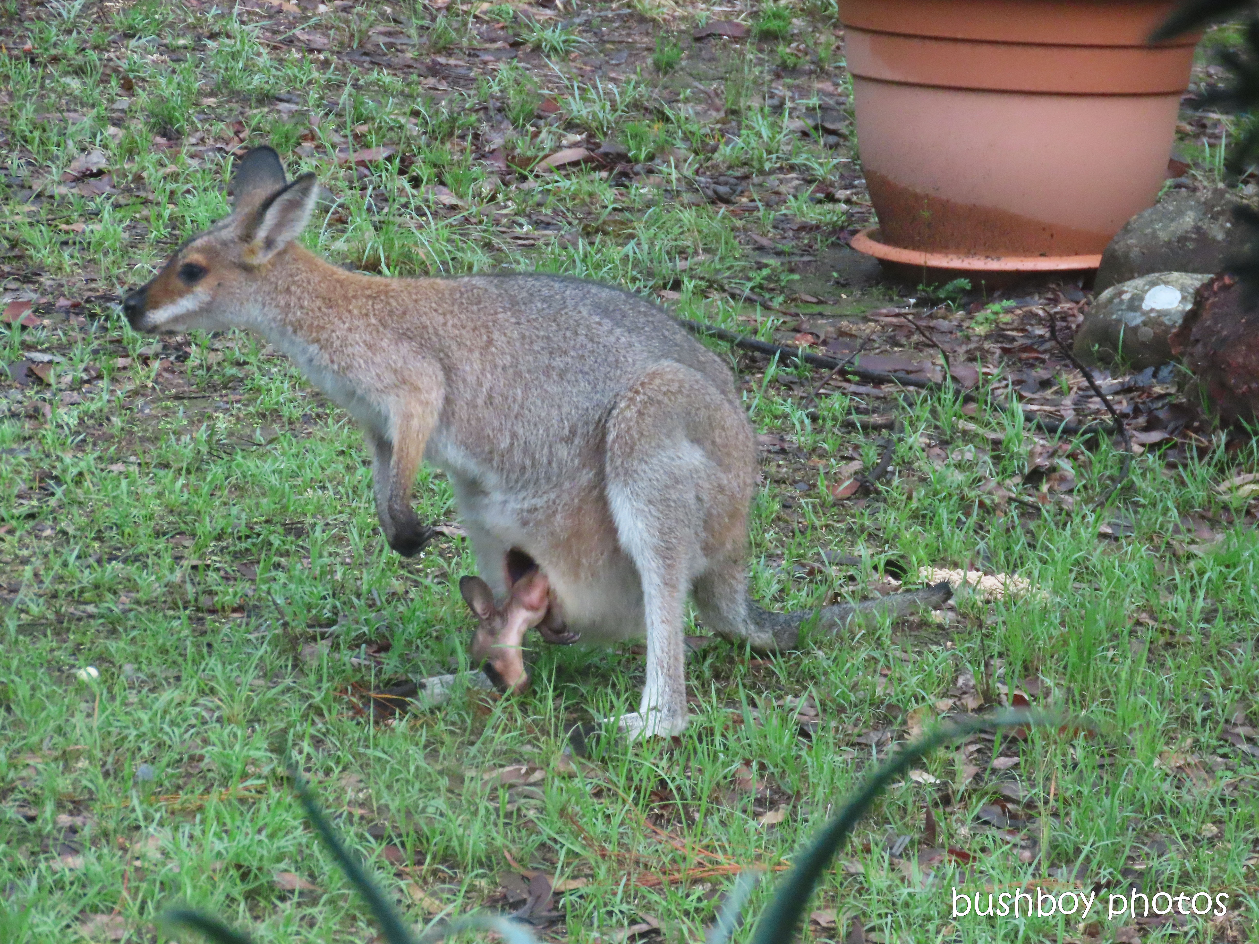 red necked wallaby_joey01_garden_durranbah