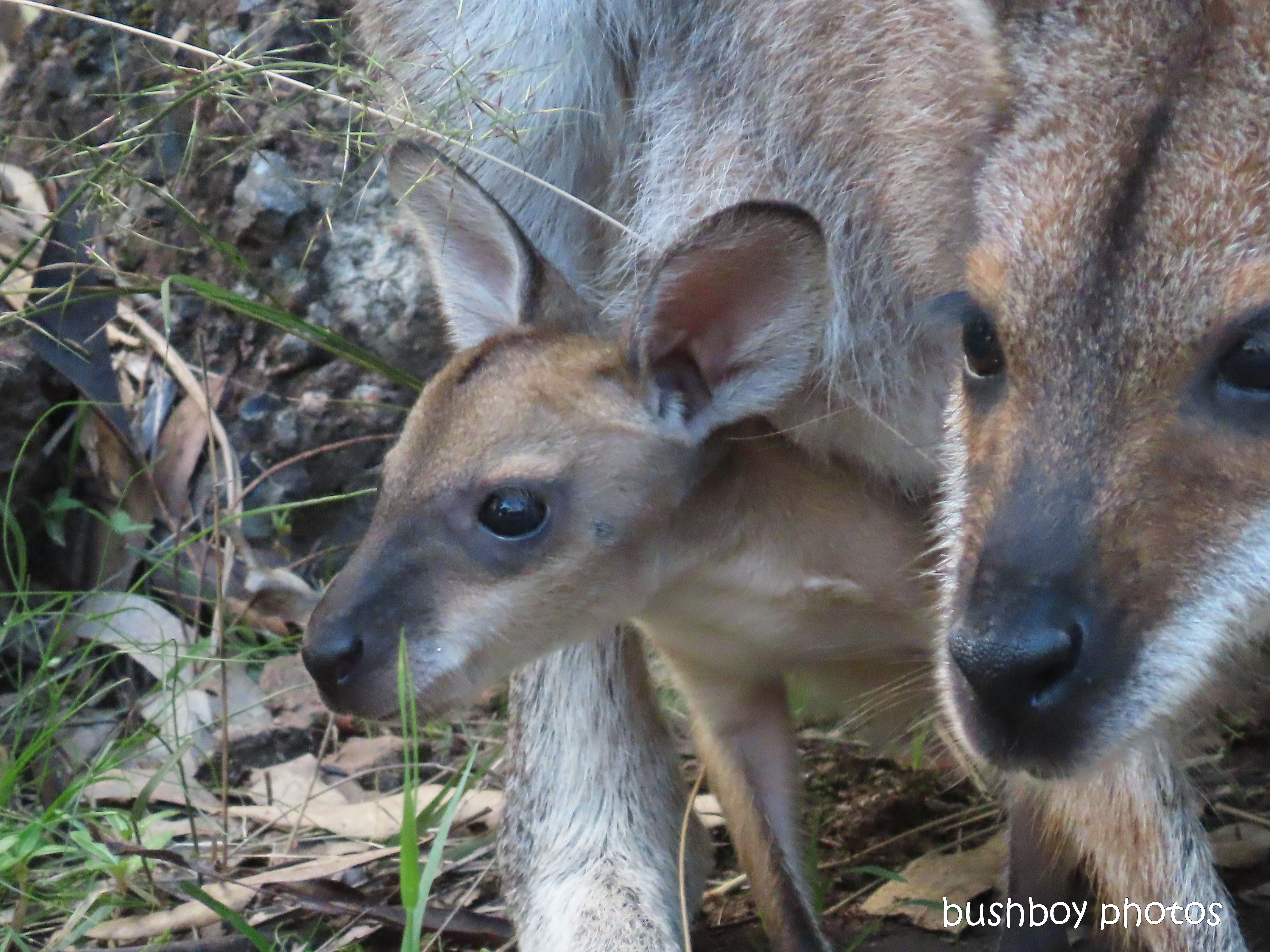 red necked wallaby_joey03_garden_durranbah