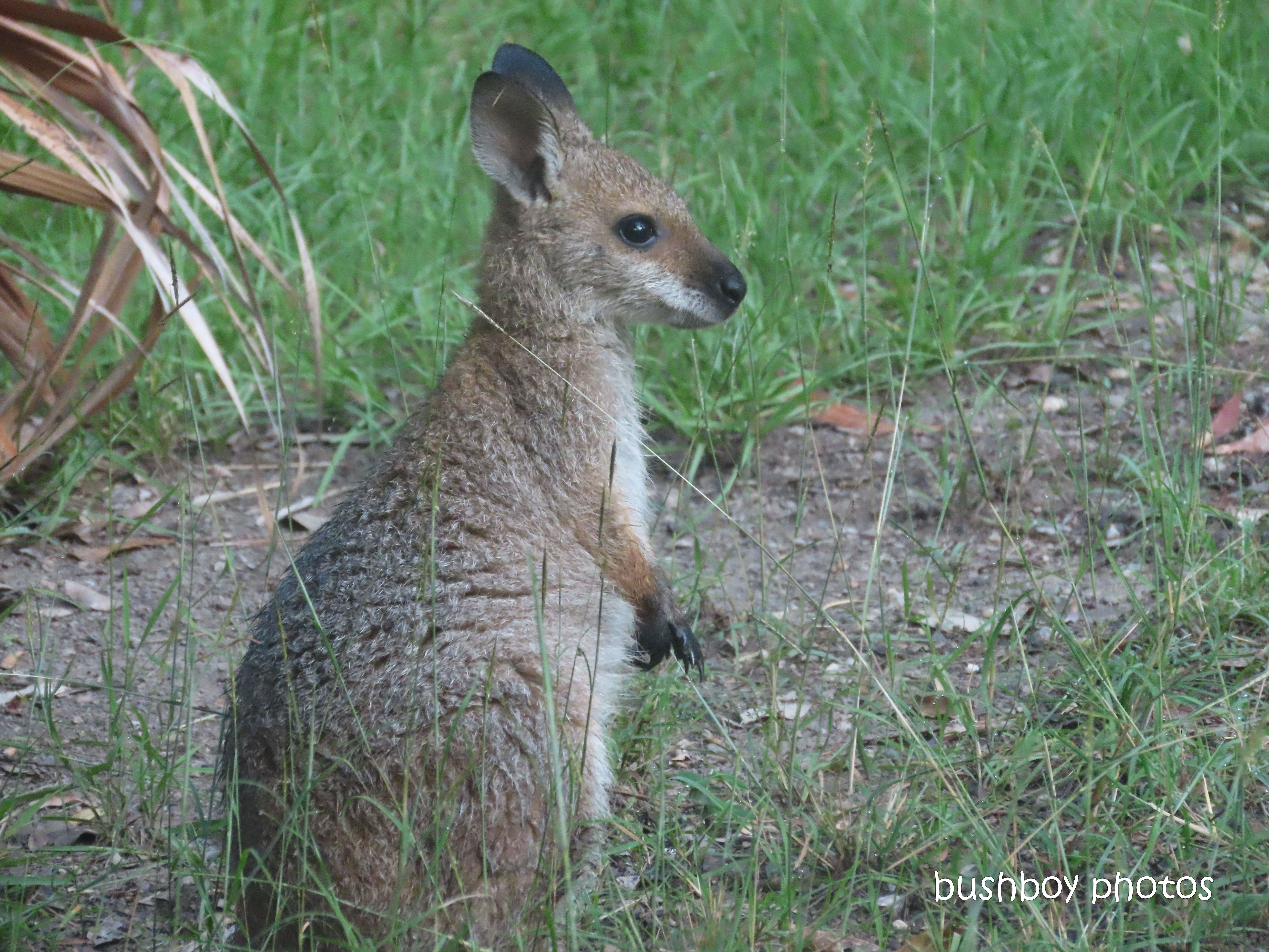 red necked wallaby_joey06_garden_durranbah