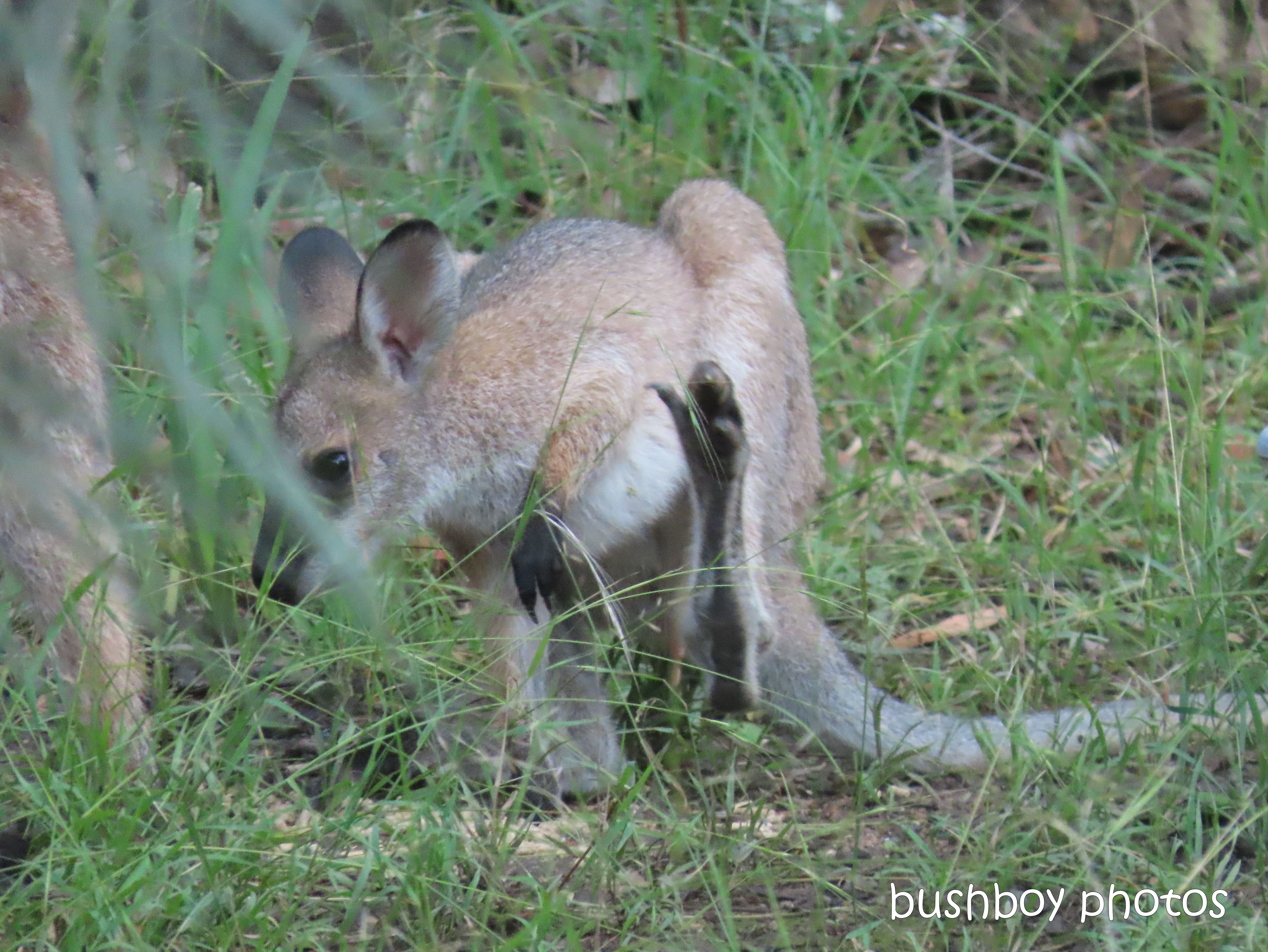 red necked wallaby_joey08_garden_durranbah