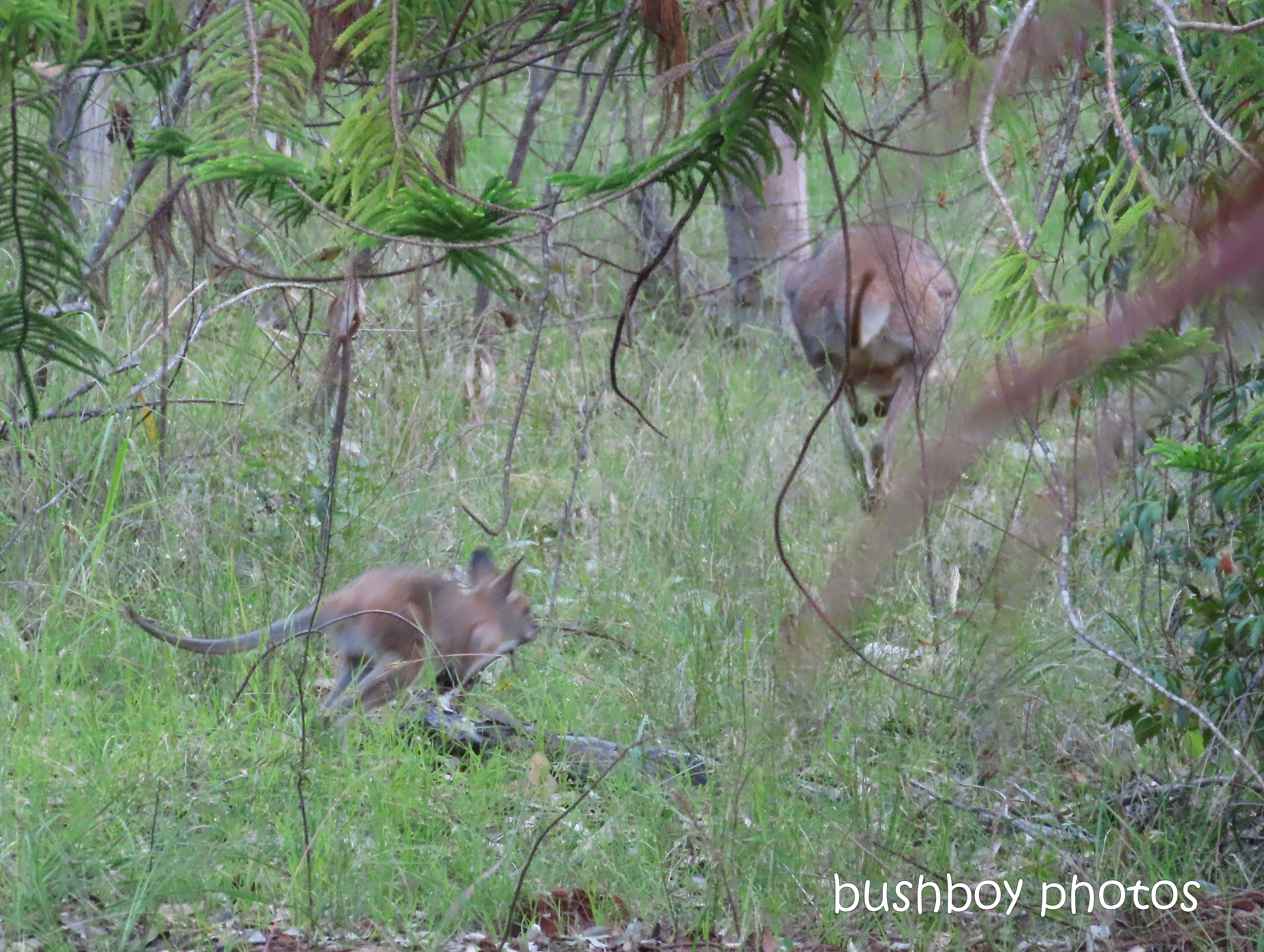 red necked wallaby_joey09_garden_durranbah