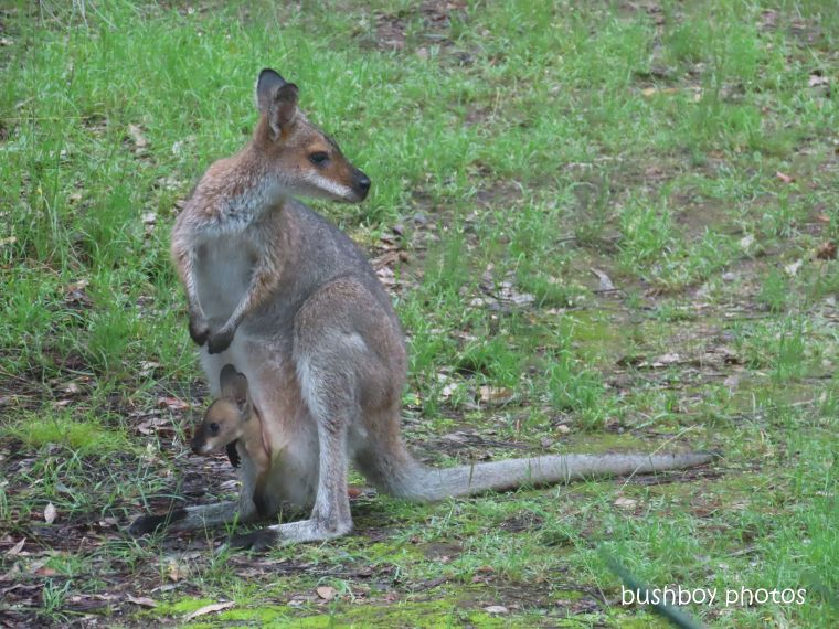 red necked wallaby_joey_garden_named_durranbah_home_jackadgery_march 2020