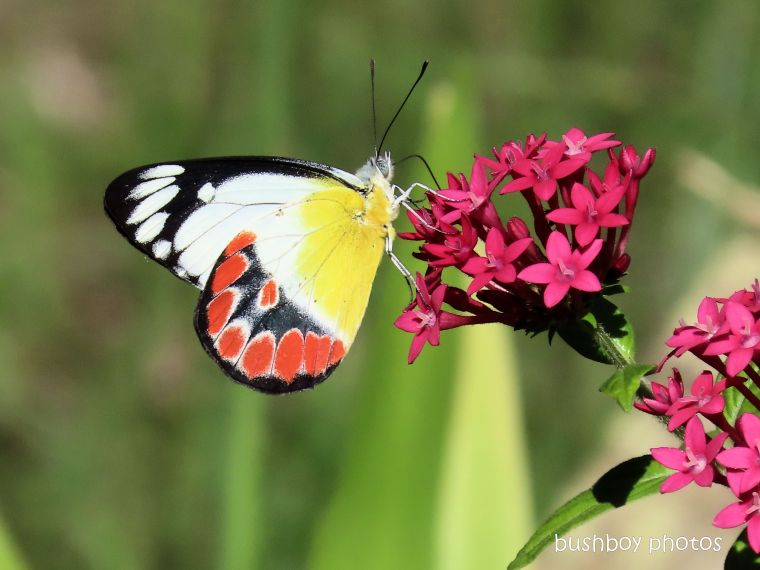 scarlet jezebel_butterfly_pentas_garden_durranbah_home_jackadgery_march 2020