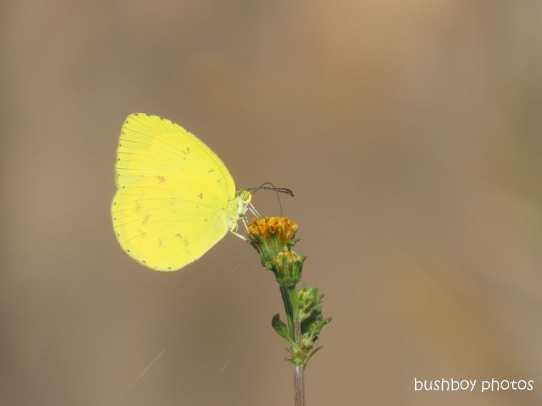 small grass yellow_butterfly_named_caniaba_march 2020