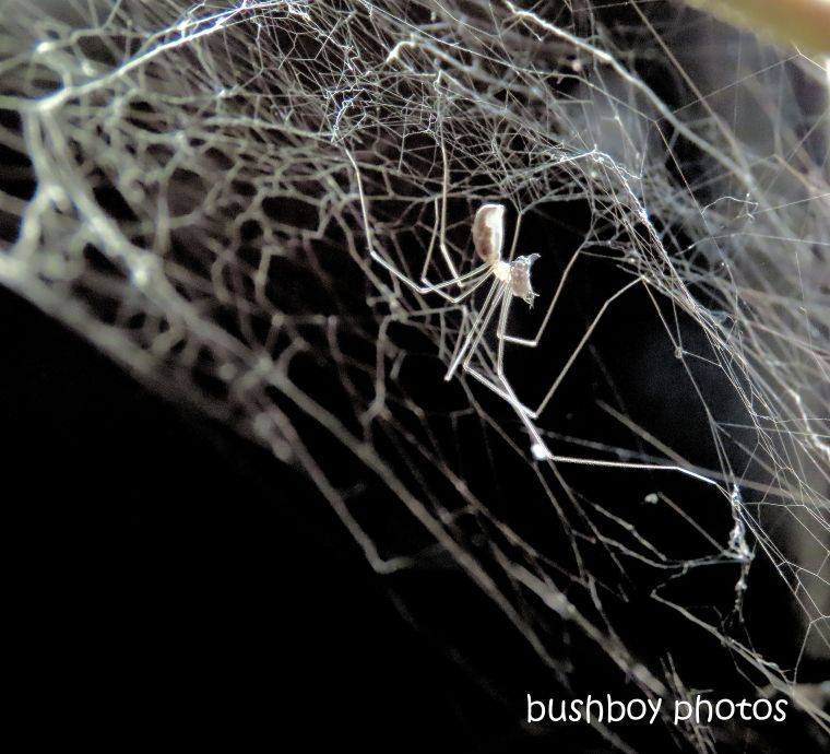 spider_daddy longlegs_web_kitchen__named_durranbah_home_jackadgery_march 2020